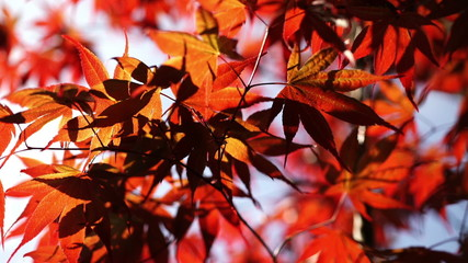 Backlit japanese maple leaves.