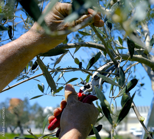 Pruning olive tree of apulia. against Xylella