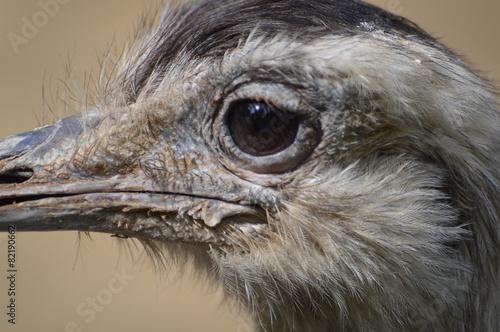 Foto op Plexiglas Struisvogel autruche