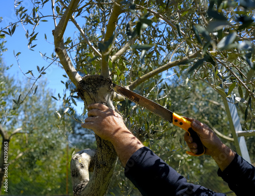 Staande foto Olijfboom Pruning olive tree of apulia. against Xylella