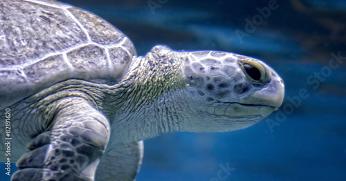 Staande foto Schildpad Green Sea Turtle