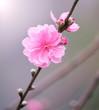 Peach flowers, spring cherry blossom