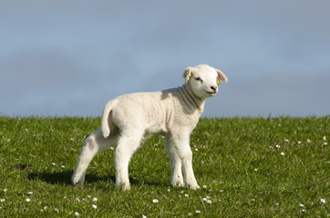 Little lamb on a dike along the Dutch coast