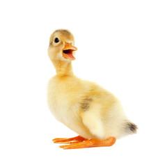 Cute small duckling