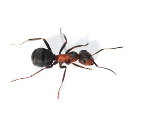 red ant isolated on white background (Formica rufa)