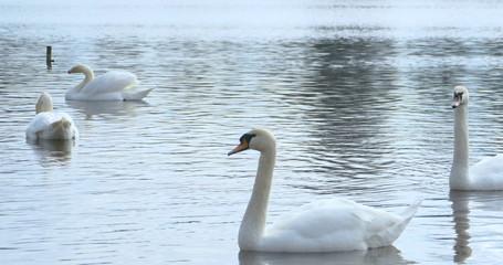 White swans in the river, 4k