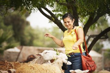 Hispanic woman feeding sheep