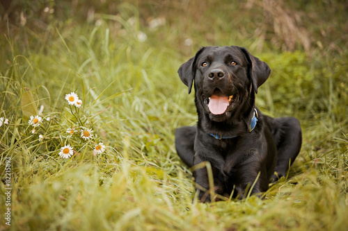 In de dag Hond Black Labrador Retriever