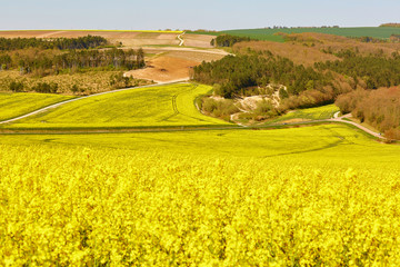 Beautiful rapeseed fields