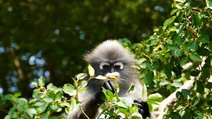 Spectacled langurs eating leaves on the tree, slow motion.