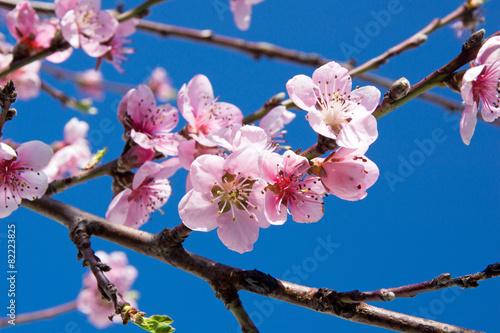 Deurstickers Kersen Kirschblüten an einem Kirschbaum