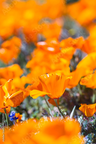 Keuken foto achterwand Poppy California Poppy close up