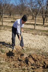 Senior man planting a plum tree