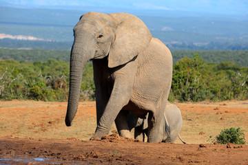 African elephant cow, Addo Elephant National Park