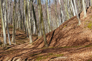 Landscape with beech forest on springtime