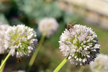 Bee with long proboscis