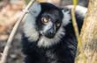 Schwarzer Lemur