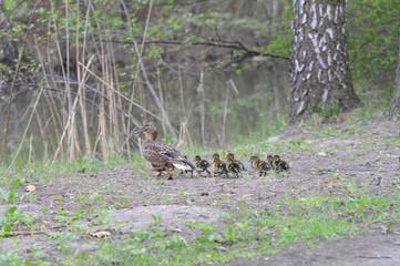 Rodzinka kaczek