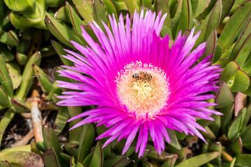ape sul fiore polline