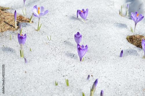 Fotobehang Krokus Krokusy w śniegu