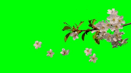 white flowers of spring falling green screen