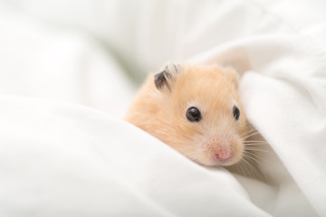 Golden Hamster on Bed Sheets