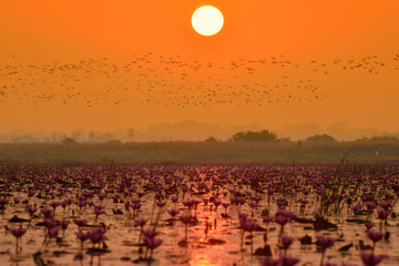 Silhouette of birds over pink water lilies lake during sunrise
