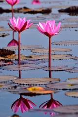 Two water lilies with leaves reflection in the water