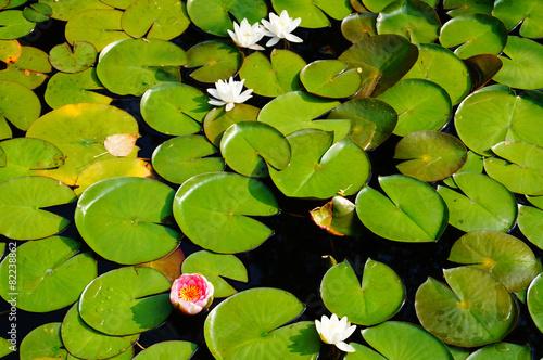 Aluminium Water planten Teichrose