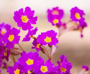 spring purple flowers closeup