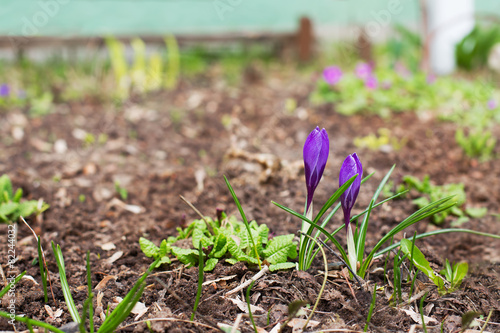 Foto op Canvas Krokussen Two purple crocuses