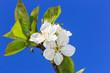 Spring cherry twig