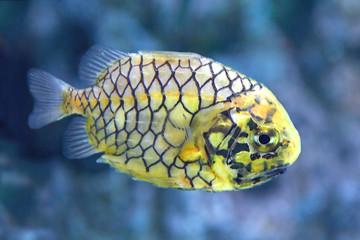 Pineconefish (Monocentris japonica)