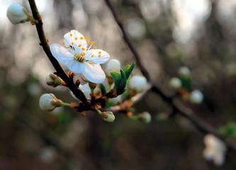 Biały Wiosenny Kwiat