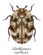 anthrenus verbasci, carpet beetles - 82253857
