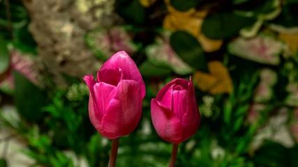 4k time lapse tulip flowers flourishing