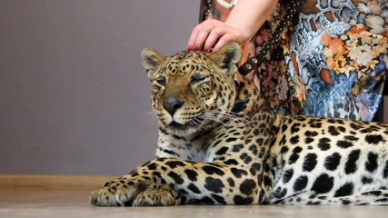 woman's hand stroking a leopard 's head