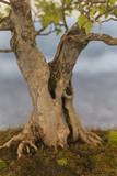 bonsai in the garden