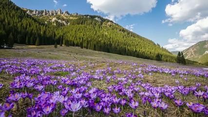 Spring crocuses in Tatra Mountains, Poland