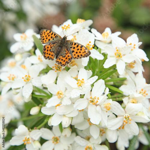 Deurstickers Vlinder Papillon petit nacré sur choisya ternata