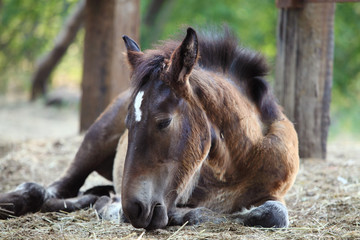Young foal lying on the ground. Animal of farm