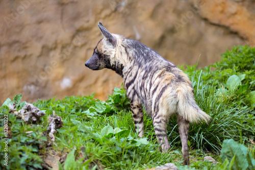 Striped Hyaena, Hyaena Hyaena, in a grassy paddock