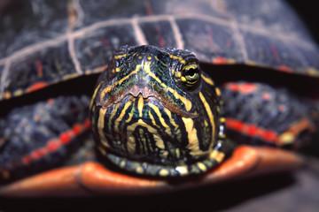 Painted Turtle Portrait Illinois