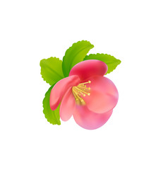 Flower of Japanese Quince (Chaenomeles japonica) isolated on whi