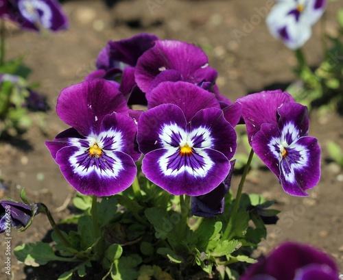 Foto op Canvas Pansies Цветы анютины глази