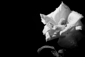 rosa a preto e branco