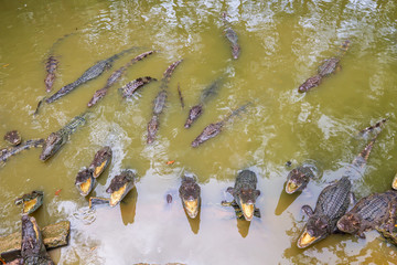 Horde of crocodiles in the water with opened jaws.