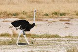 Male ostrich walking in the bush