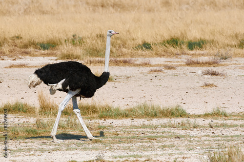 In de dag Struisvogel Male ostrich walking in the bush