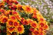 cluster of orange chrysanthemum flowers